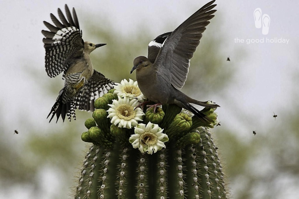 Saguaro-Cactus-Blossom-With-Birds-Images