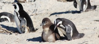 Baby penguin promises waddle