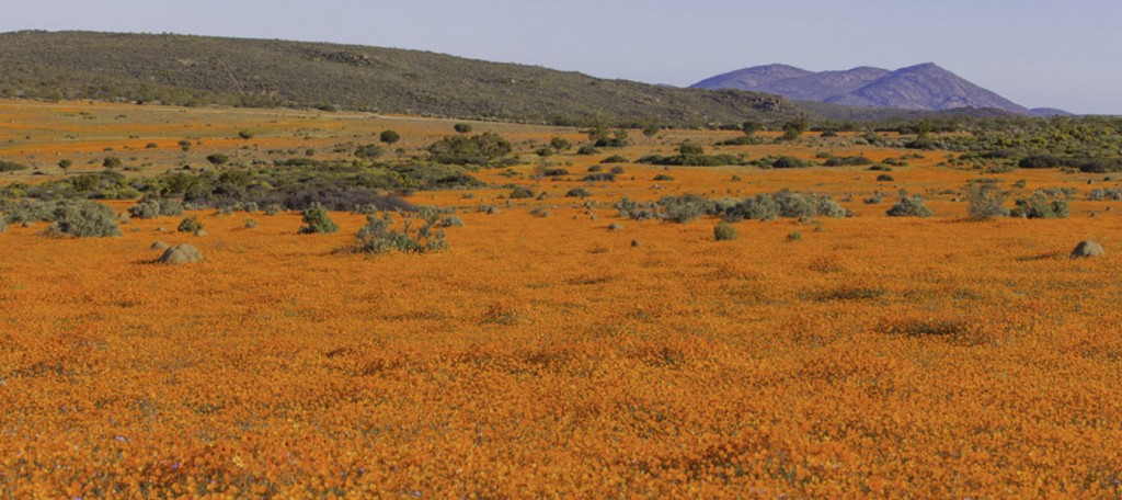Namaqua National Park Flower Season South Africa