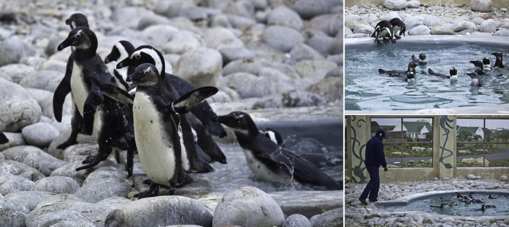 African Penguin and Seabird Sanctuary (APSS)