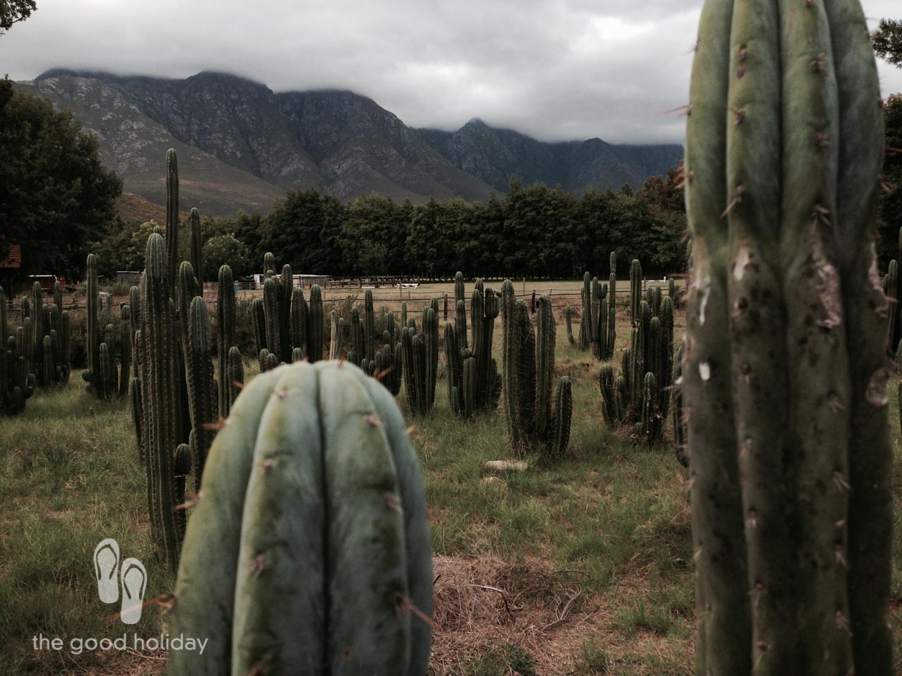 A field of cacti just next to the Oak Tree Lodge at Blue Hippo Farm.