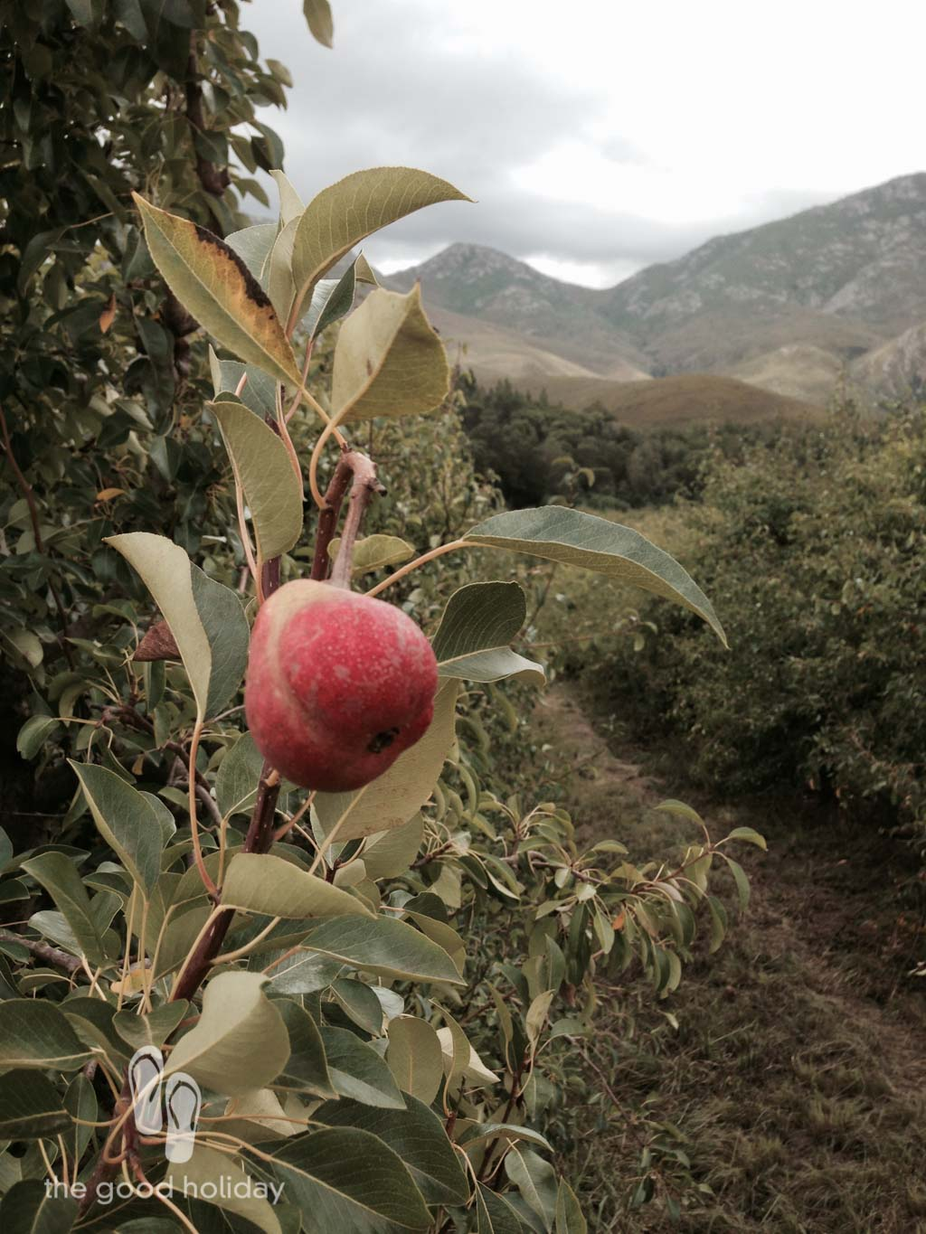 There's magic in the mountains. A pear growing in the orchard.